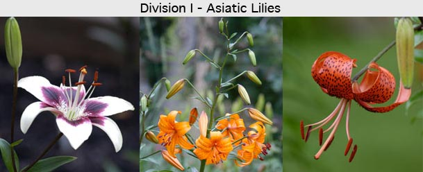 Types Of Lilies North American Lily Society