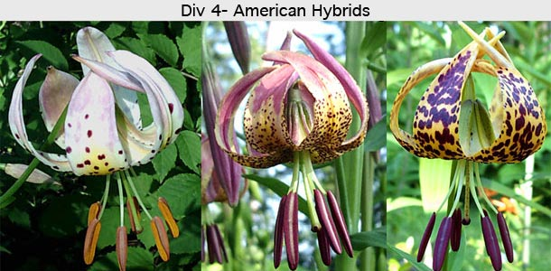 types of lilies  north american lily society, Beautiful flower
